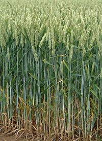 200px-Wheat field