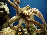 Mid-Moving Octopus Vulgaris 2005-01-14.ogg